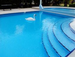 Poolline Yüzen Tip Beyaz Kuğu - Thumbnail